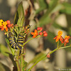 Two Monarch Caterpillars eating the flowers off a Milkweed plant.
