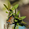 A visiting female Monarch laying eggs on one of my Milkweed plants.