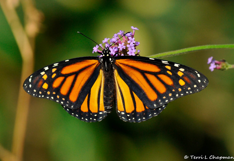 On September 9, 2015, my 600th Monarch was born and released in my garden!  The female Monarch landed on a Purpletop Vervain bloom to sun her wings before she flew away.
