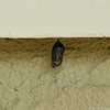 Day 17 and the chrysalis is turning transparent and the butterfly is in full view.