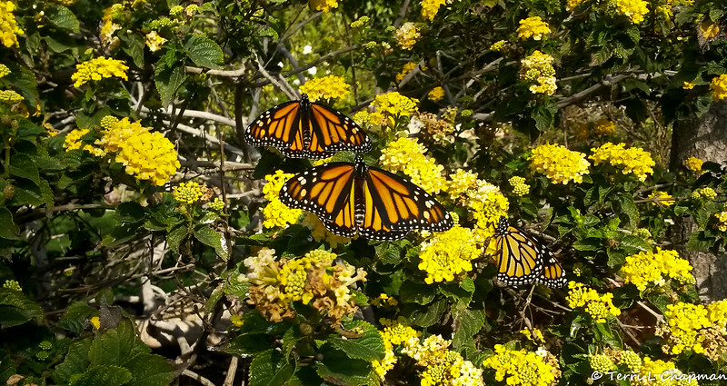 Three female Monarchs were born on January 28, 2019 and released into my garden on the morning of January 29. They flew away after they had warmed themselves up.