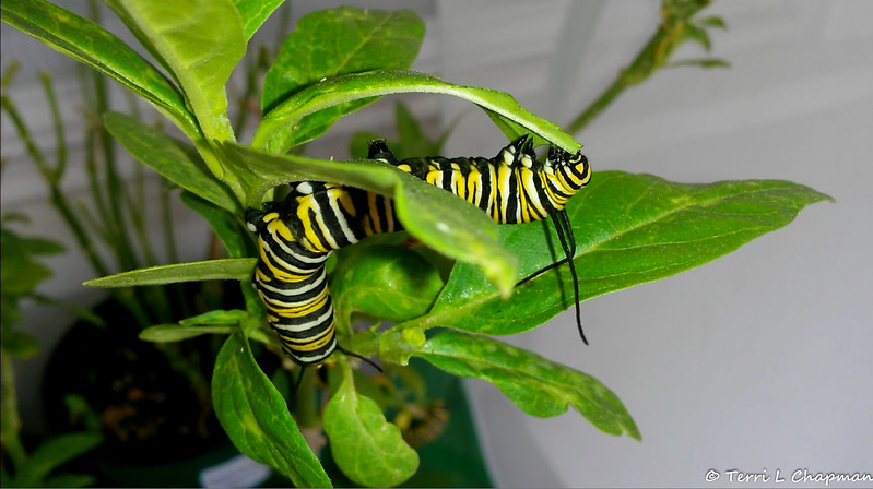 A Monarch Caterpillar munching on Milkweed