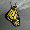 On January 9, 2017, this male was my 1600th Monarch Butterfly! Since it was raining, the Monarch remained safe and dry inside its mesh cage and was then released on January 11th when the sun was shining and above 60 degrees.