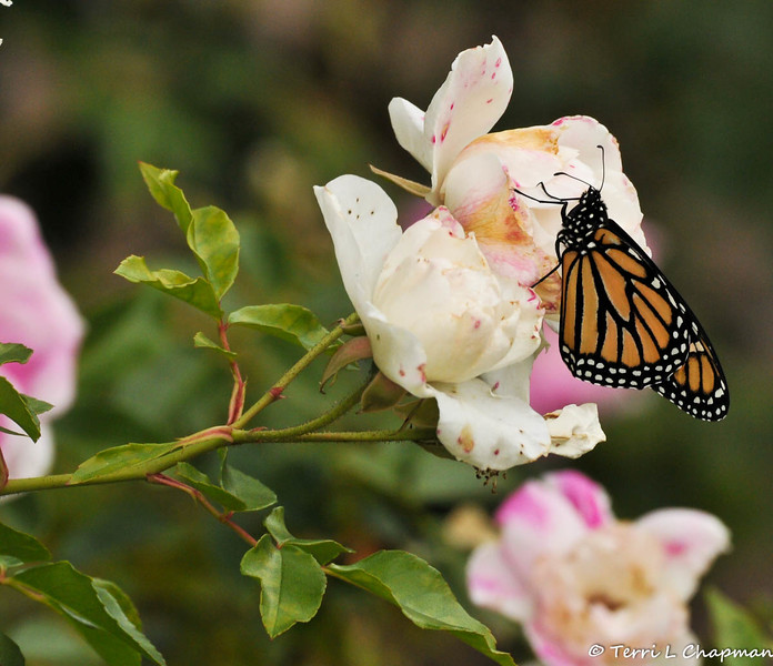 "The Monarch took a short flight from the garden statue and flew onto a nearby ""Iceberg"" rose. I did not cut back my roses so the Monarchs would have nectar close by from their birth place."