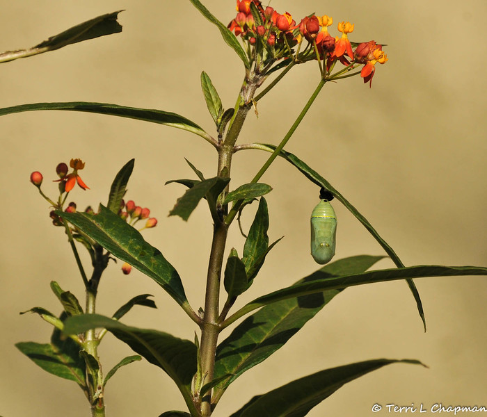 A Monarch caterpillar that has formed a chrysalis on one of the leaves of a Milkweed plant.