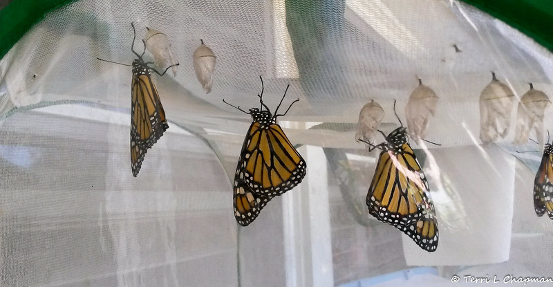 Female Monarchs #2,316, #2,317, #2,318 and #2,319 were born and released on September 15, 2018.