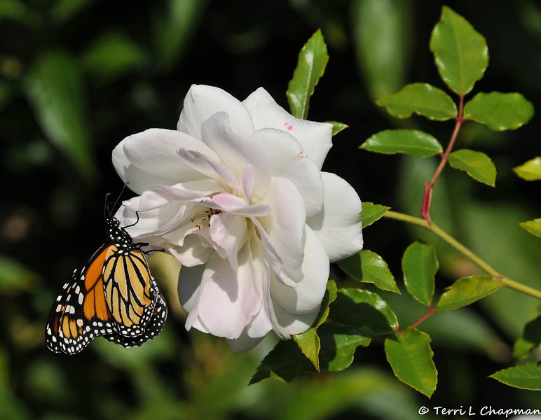 On February 3, 2015, which was 20 days after the caterpillar formed the chrysalis, a female Monarch Butterfly emerged around 1:00 pm. In this image, you can see her lower right wing is slightly curled, but this did not affect her ability to fly.