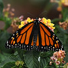 A beautiful female Monarch Butterfly drying her wings on a Lantana plant. This Monarch was born in my garden on May 19, 2015.