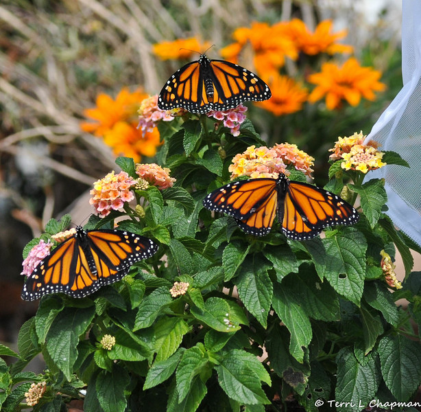 Two beautiful females and one male Monarch, resting on Lantana blooms, before they take their first flight. These Monarchs were born in my garden on May 8, 2015, but the weather was cold that day, so they stayed safe in their mesh castle until the weather warmed up and then they were released.