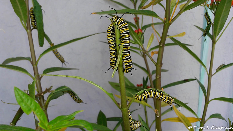 A large group of Monarch Caterpillars in their mesh castle