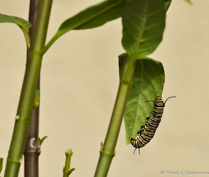 A Monarch Caterpillar walking along a leaf of a Milkweed plant.