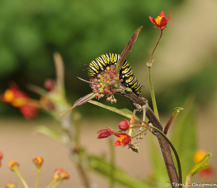 A Monarch Caterpillar on Milkweed. The caterpillars love to eat the flowers of Milkweed whether the flowers are blooming or still closed.