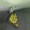 "Monarch #2,000 was born on August 16, 2017 and ""he"" was released into my garden the same day."