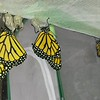 Monarchs #2,001, #2,002 (both males) and #2,003 (a female) were born on August 16, 2017.