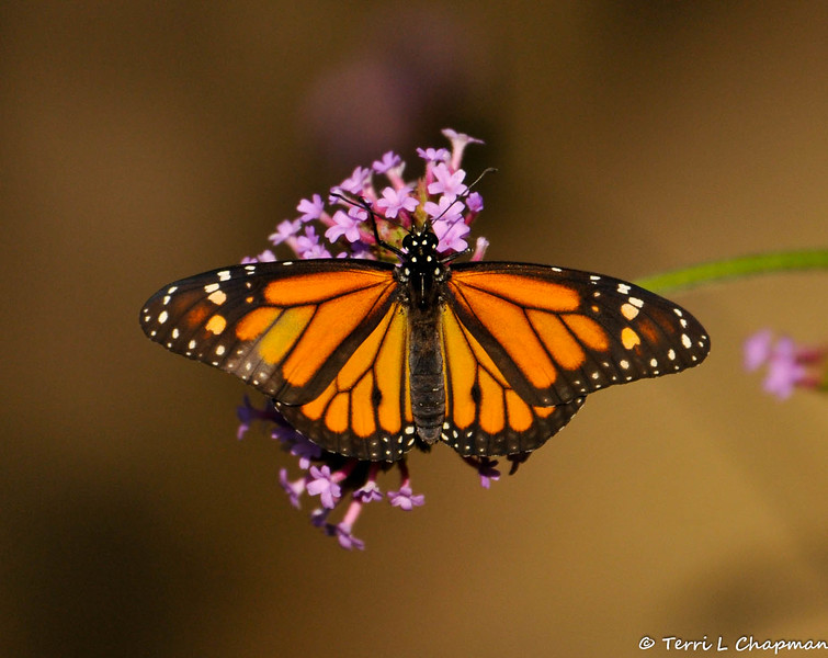 Here is the last image of the little male Monarch butterfly that was born on September 9, 2015. He is sipping nectar from a Purpletop Vervain flower before he flew away.