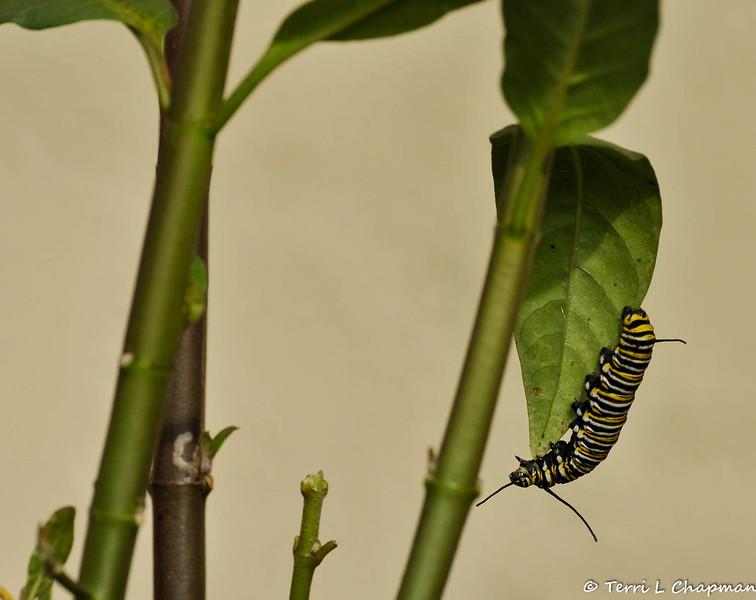 A Monarch Caterpillar walking along a leaf of a Milkweed plant.
