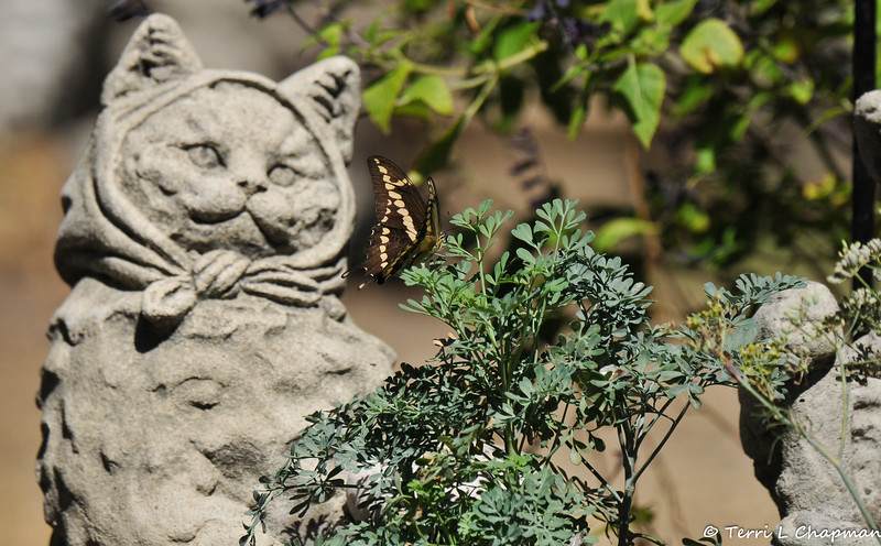 A male Giant Swallowtail with my Common Rue plant...one of the plants in my garden that I use to attract the swallowtails to lay their eggs upon.
