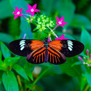Postman butterfly, Heliconius melpomene on pink pentas lanceolata