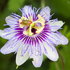 Striped Cucumber Beetle atop Passionflower