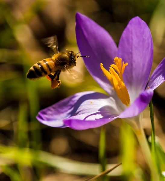 A honeybee inspects the Crocus blooms.