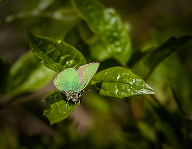 Green Hairstreak-7591.jpg