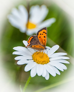 Small Copper-78.jpg