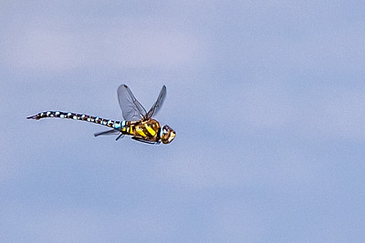 Emperor? Dragonfly
