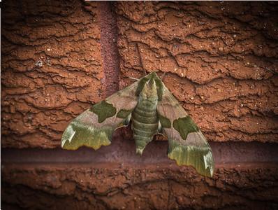 Lime Hawk Moth EMI33219-Edit.jpg