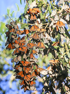 Pismo Beach Monarch Butterfly Grove