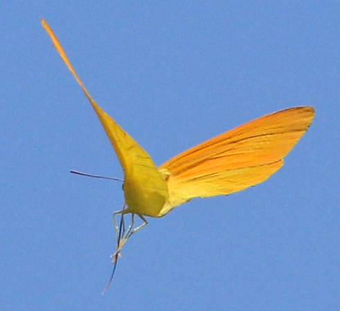 Apricot Sulphur in flight.