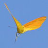 Apricot Sulphur in flight.