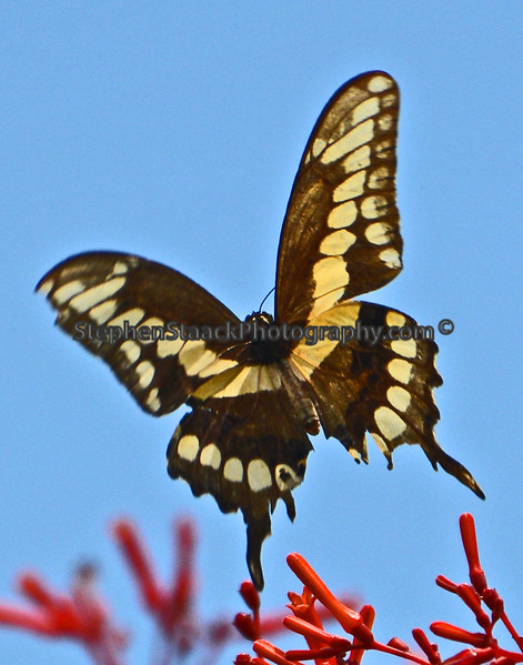 Giant Swallowtail in flight.