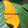 Apricot Sulphur ( Phoebis argante)