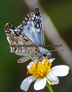 Common Checkered Skipper.