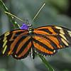 Euides isbella (Nymphalidae)