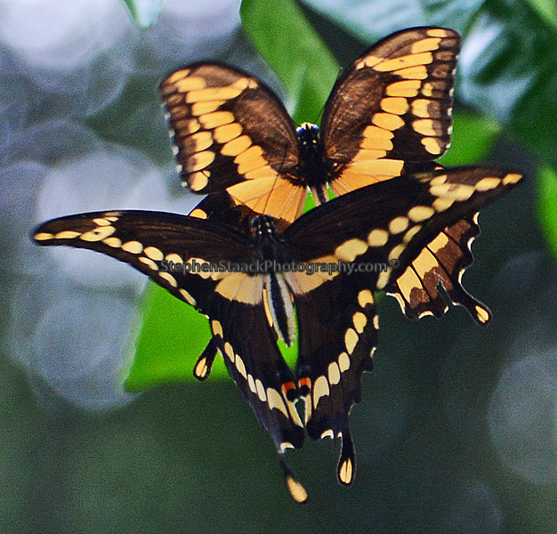 TWO GIANT SWALLOWTAILS PHOTOGRAPHED IN FLIGHT