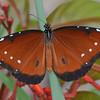 Oueen Butterfly