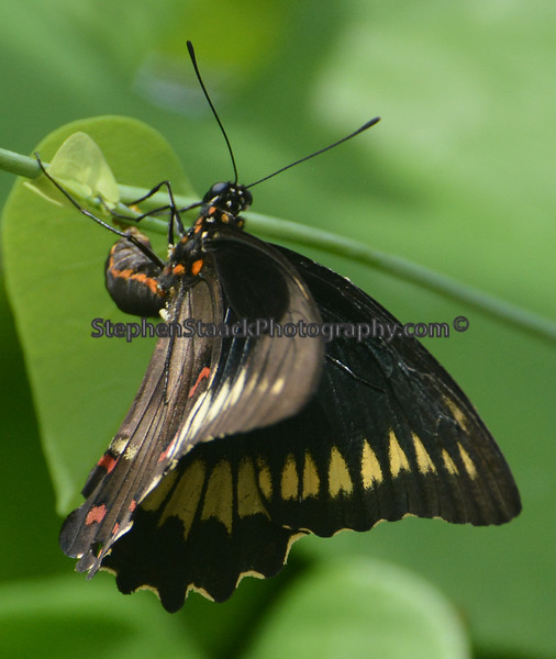 Dumas Swallowtail during a wings fluttering movement.