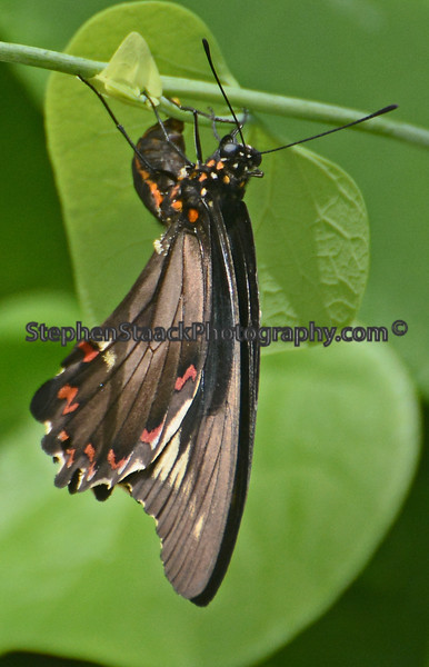 Dumas Swallowtail in a resting position.