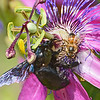 Southern Carpenter Bee and worker bee