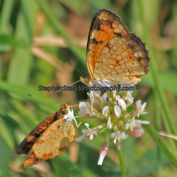 Two Gulf Fritillary Butterflys