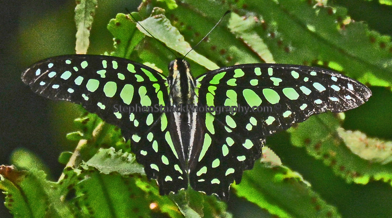 Tailed Jay  (Graphium agamemnon)
