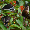 THREE SWALLOWTAILS ON A  SUMMER AFTERNOON IN FLORIDA.