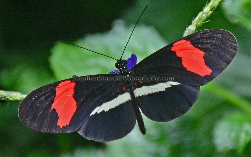 Postman Butterfly   (Heliconcus melpomene)