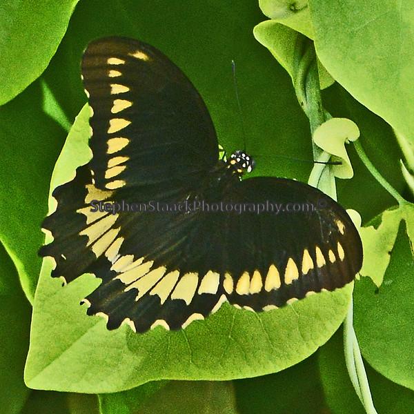 Dumas Swallowtail silouettes leaf.