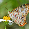 Ventral view of a Gulf Fritillary.