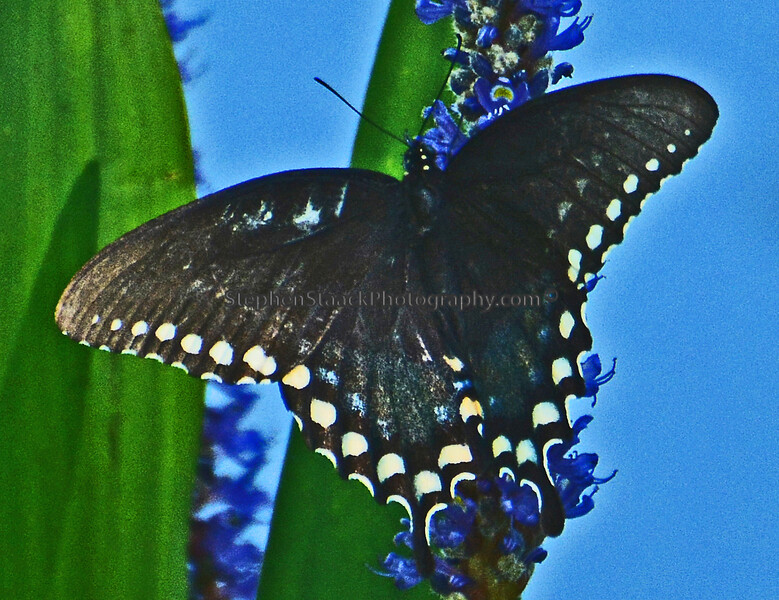 Spicebush Swallowtail.