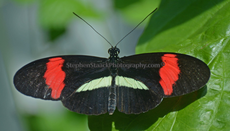 Parides Butterfly