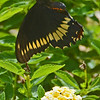 Dumas Swallowtail flies over a flower.