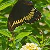 Dumas Swallowtail flies over a flower.
